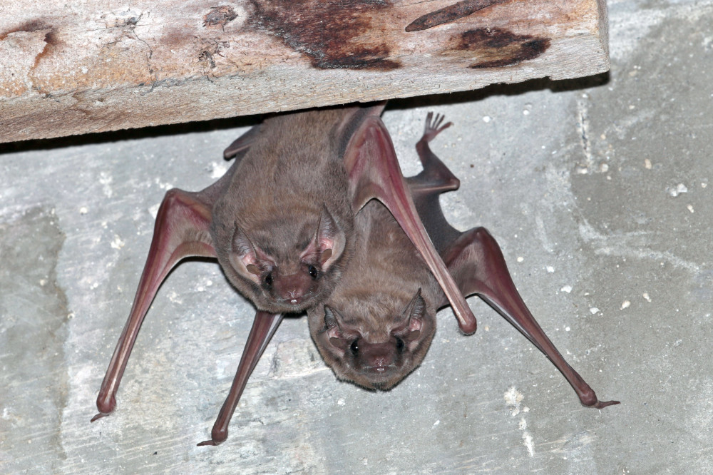 The Black-beared Tomb Bat, one of the species recorded on Pulau Ubin for the first time. — Noel Thomas/NParks pic via TODAY