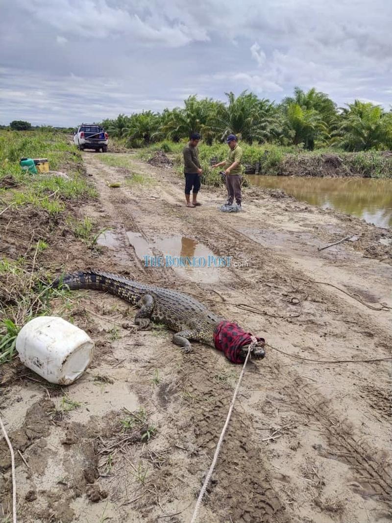 The crocodile captured at the farm in Kuala Baram. — Borneo Post pic