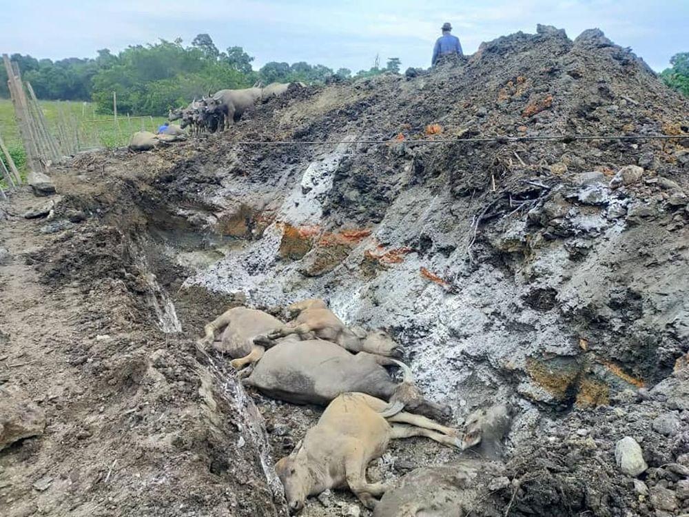 Eleven buffaloes were found dead at Muhammad Syukur's farm located at Kampung Banggol Katong in Kuala Terengganu. — Picture courtesy of Facebook/Syukor Khamis – Kampong Boy