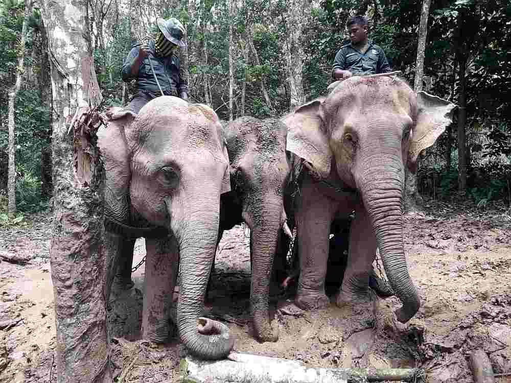 Abot (left) and Rambai escorting a stray elephant to safety.
