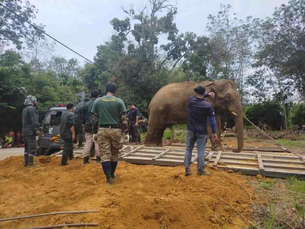 A rescued elephant getting ready to be translocated to safer area. — Picture courtesy of Perhilitan