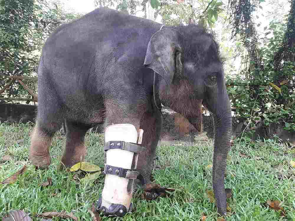 An injured baby elephant being treated at the National Elephant Conservation Centre Kuala Gandah. — Picture courtesy of Perhilitan