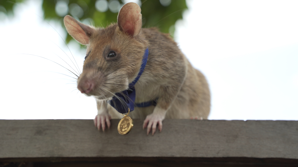 `Hero rat` awarded gold medal for hunting landmines