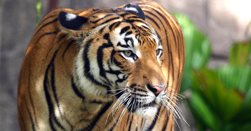 The Malayan tiger population has drastically decreased over the past decade due to heavy poaching. — Picture courtesy of WWF Malaysia