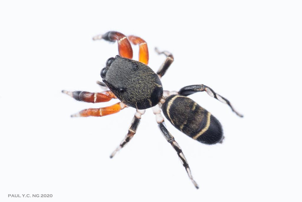 A new species of spider from the Piranthus genus, found on Pulau Ubin during a biodiversity survey. The spider had not been identified anywhere else in the world. — Paul Ng/NParks pic via TODAY