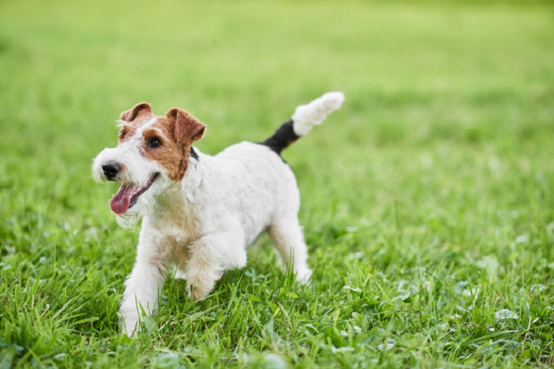 A recent study indicates that two types of dogs show more play behaviour ― herding and hunting dogs like the fox-terrier, German shepherd, border collie and teckel. ― Shutterstock/AFP pic