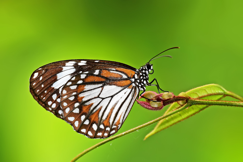 The Swamp Tiger Butterfly, one of the species recorded for the first time on Pulau Ubin. — Khew Sin Khoon/ NParks pic via TODAY