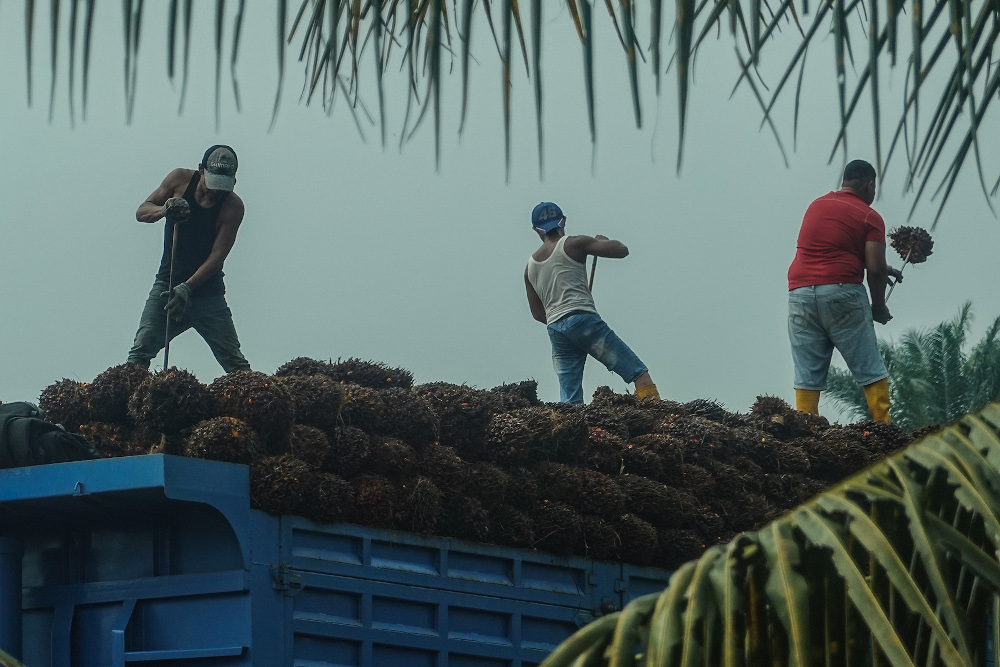 Workers load palm fruits onto a lorry at a plantation in Sekinchan, Selangor October 31, 2020. — Picture by Miera Zulyana