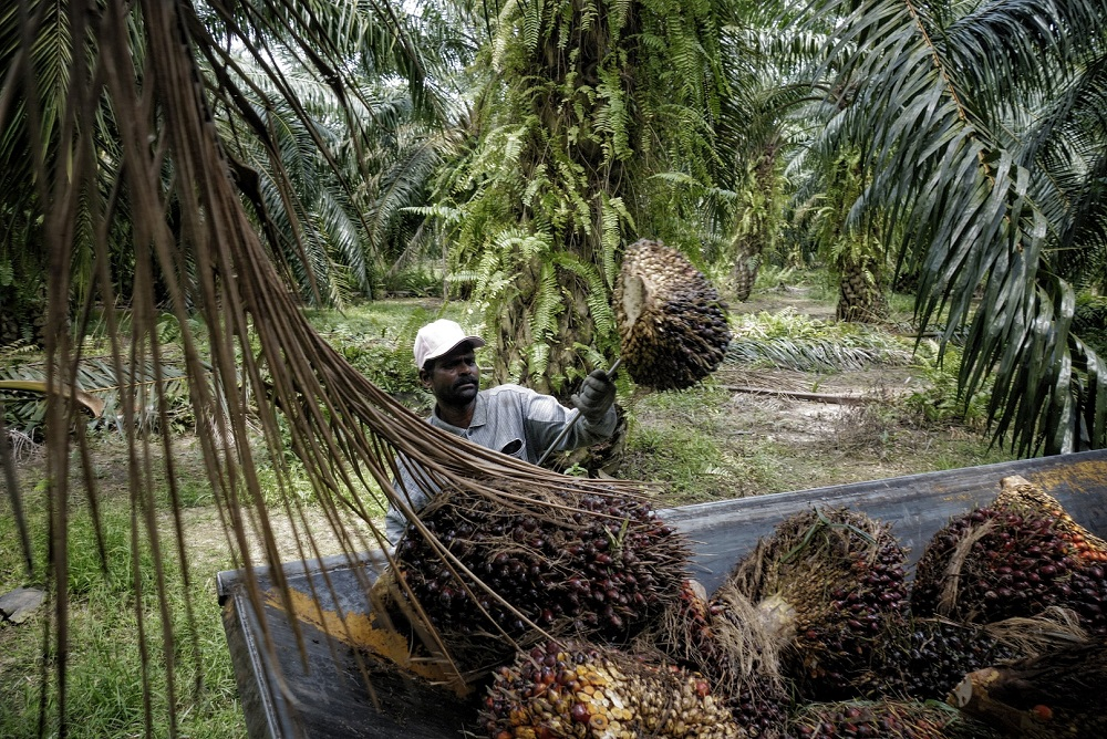 Under the EU's renewable energy directive, palm oil-based fuels are to be phased out by 2030, since palm oil has been classified by the bloc as resulting in excessive deforestation and can no longer be considered a renewable transport fuel. — Picture by Shafwan Zaidon