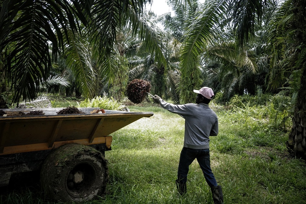 A worker loads palm fruits onto a lorry at a plantation in Sepang October 30, 2019. — Picture by Shafwan Zaidon