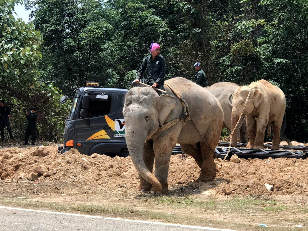 Forestry unit manage to capture a male elephant encroaching village in Gerik, October 17, 2020. ― Bernama pic