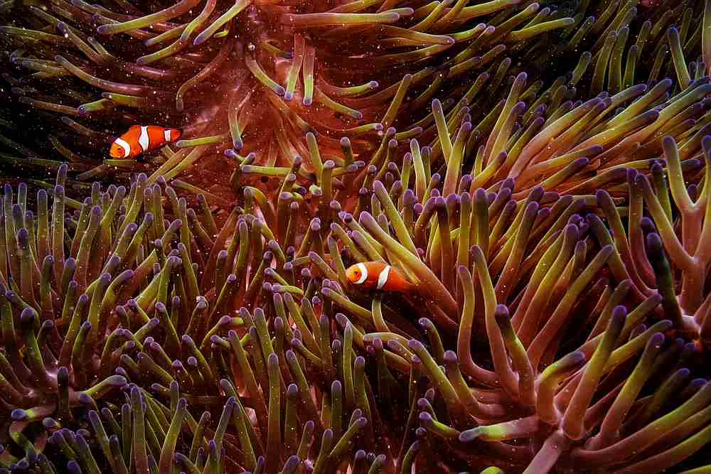 Two clownfish swim inside of a sea anemone in the Great Barrier Reef off the coast of Cairns, Australia October 26, 2019. — Reuters pic