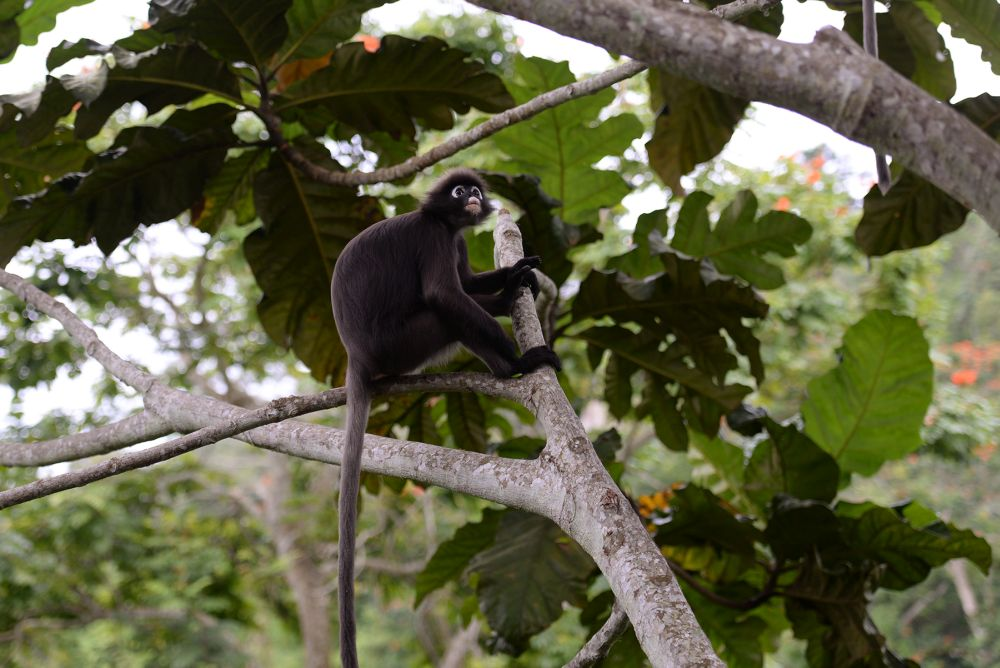 Various types of fauna, such as the dusky leaf monkey, can be seen at the Penang Hill October 2, 2020.
