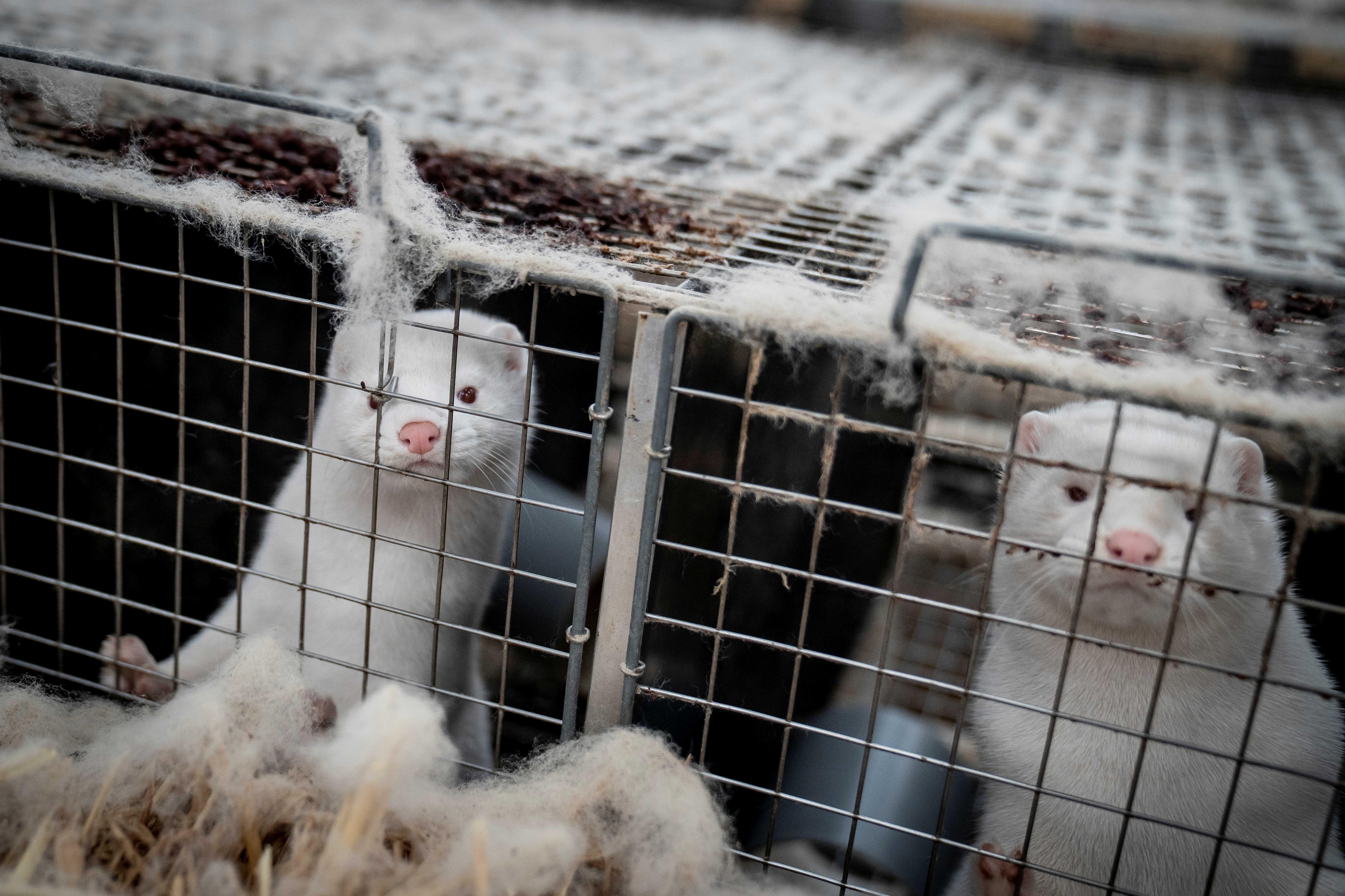 Minister steps down over contentious mink case
