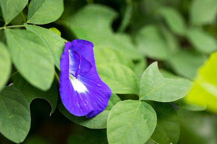 The blue pea flower ('Clitoria ternatea') is known as 'bunga telang' in Malay and 'dok anchan' in Thai