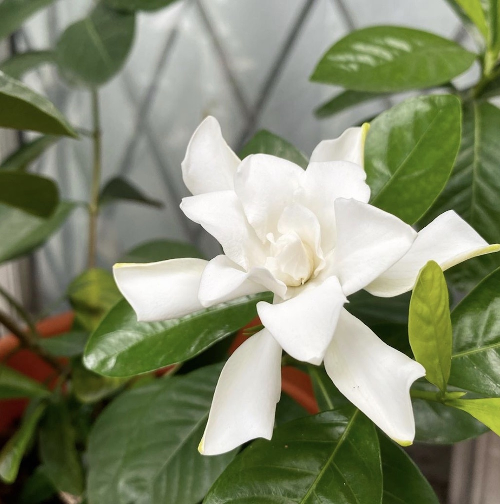 Tending to my gardenias reminds me that there are still things to be grateful for. — Picture by Erna Mahyuni