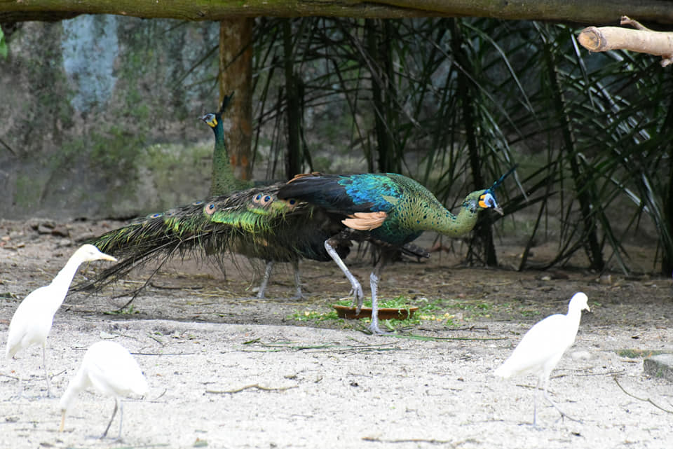 The Taiping Zoo and Night Safari has taken in a pair of green peacocks for breeding. — Picture via Facebook/ Zoo Taiping & Night Safari