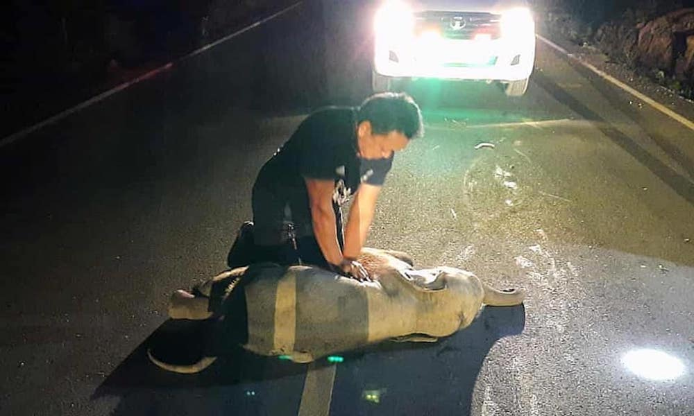 Mana resuscitated the elephant after it was struck by a motorcyclist. — Reuters pic