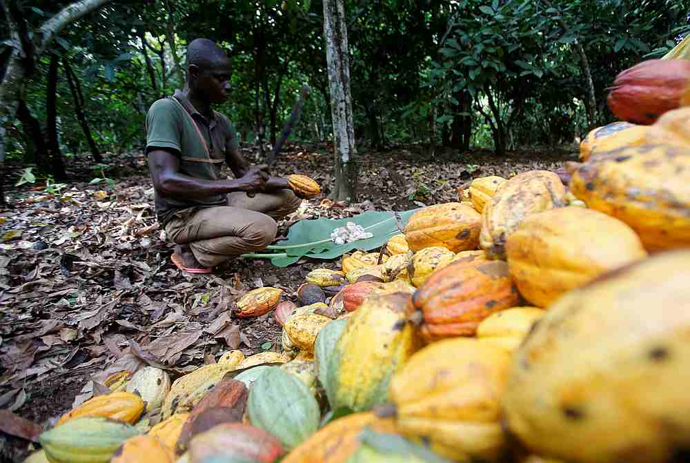 A farmer works on cocoa pods at a farm in Toumodi, Ivory Coast October 13, 2018. — Reuters pic