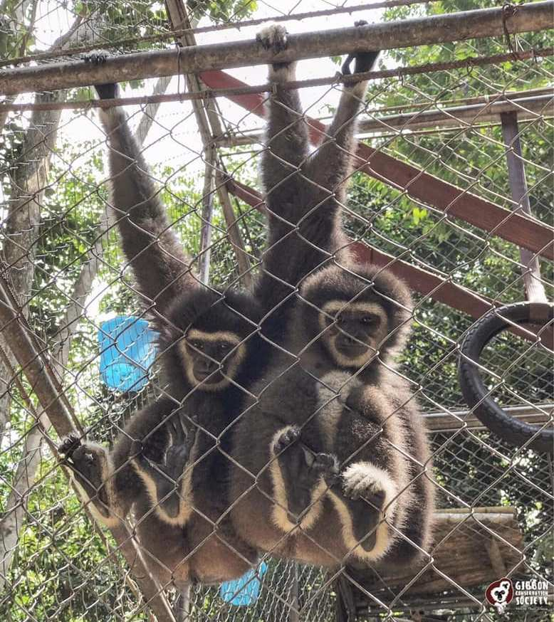 Betsy and Lola ― the two of the gibbons taken by Perhilitan yesterday. ― Picture via Facebook/Gibbon Conservation Society