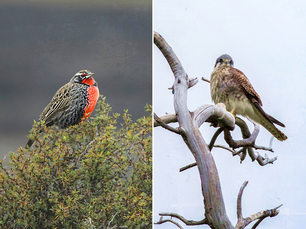 Birdwatching in Patagonia: Long-tailed meadowlark (left) and American kestrel (right).