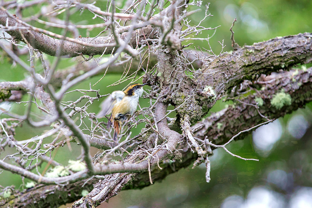 The thorn-tailed rayadito has a variety of different calls.
