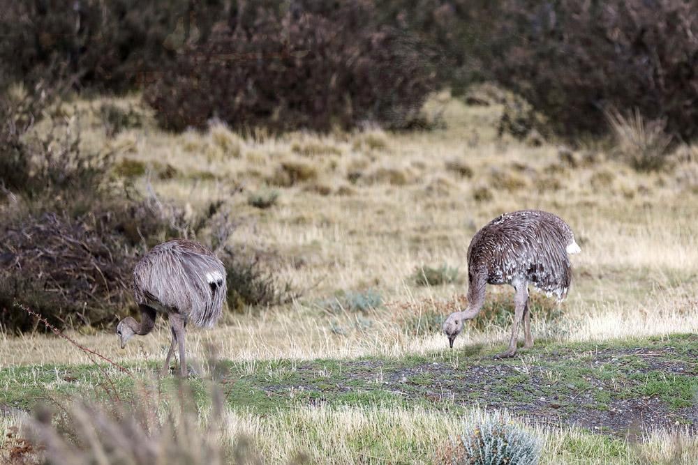 Rheas are large, flightless birds that are similar to an African ostrich or an Australian emu.
