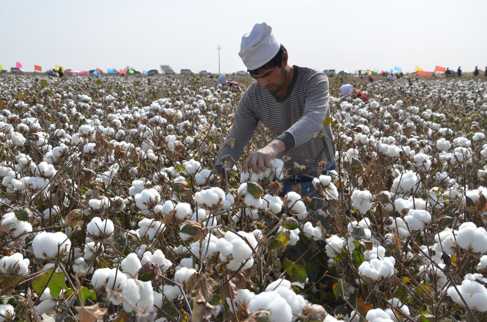 Chinese Uighur workers pick cotton in a field in Alar, northwest China's Xinjiang Uygur Autonomous Region. — Reuters file pic