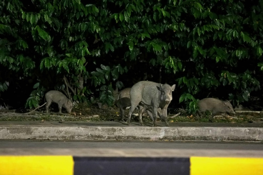 The National Parks Board said that feeding wild boars can cause the animals to become aggressive. — TODAY pic