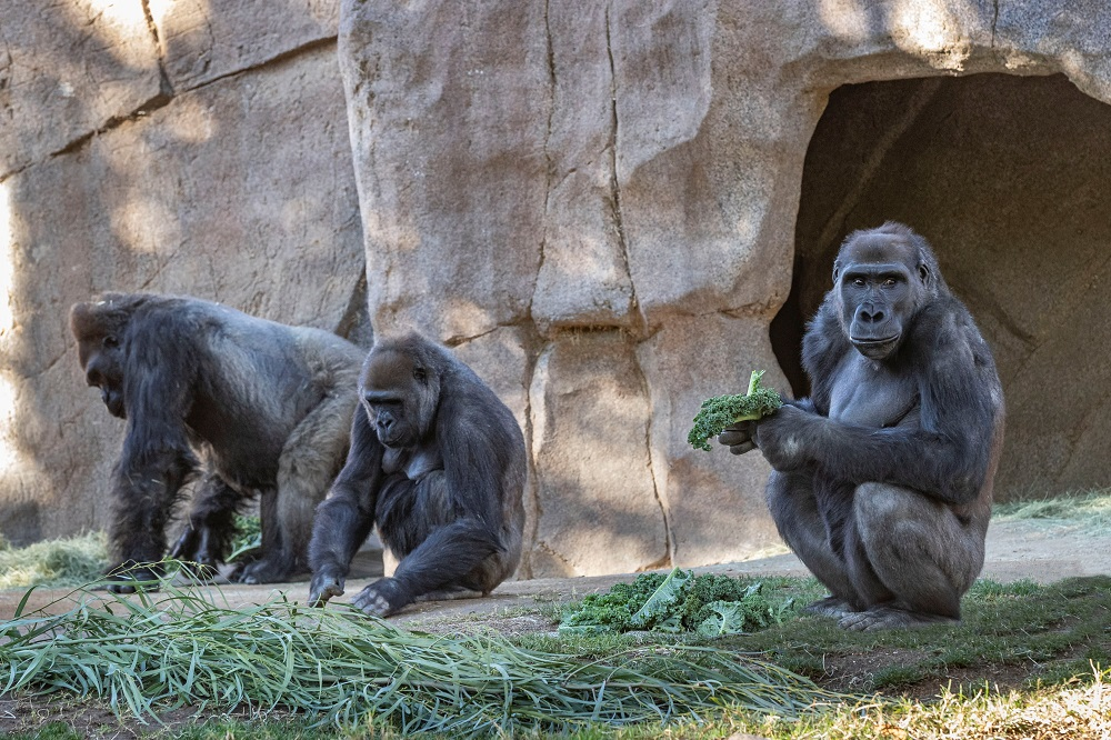 Two gorillas test positive for Covid at zoo in San Diego