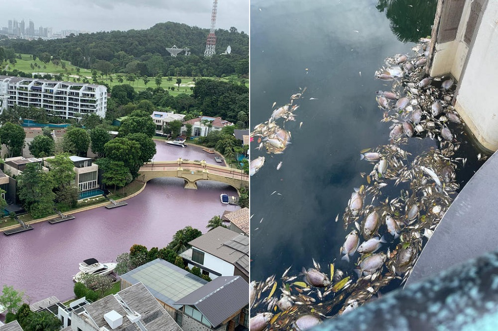 Waterways in the South Cove segment of Sentosa Cove turned pink (left) after scores of dead fishes (right) were seen last week. — Picture courtesy of The Heron of the Green Barrels via TODAY