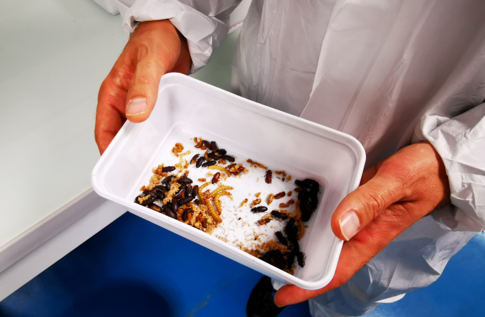 Ynsect's Chairman and CEO Antoine Hubert shows a container of adult mealworm beetles, which are used for reproduction, at the laboratory of the insect farm Ynsect in Dole, France, October 22, 2020. — Reuters pic