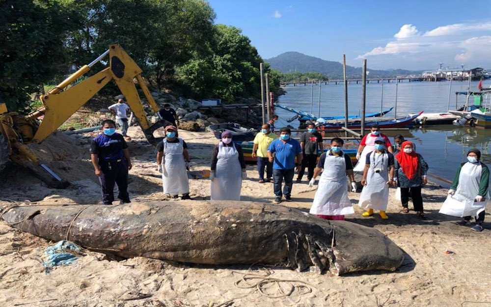 The carcass of a 1.5-tonne whale shark was found floating in the waters off Pulau Pangkor January 23, 2021. — Picture via Twitter/Bernama