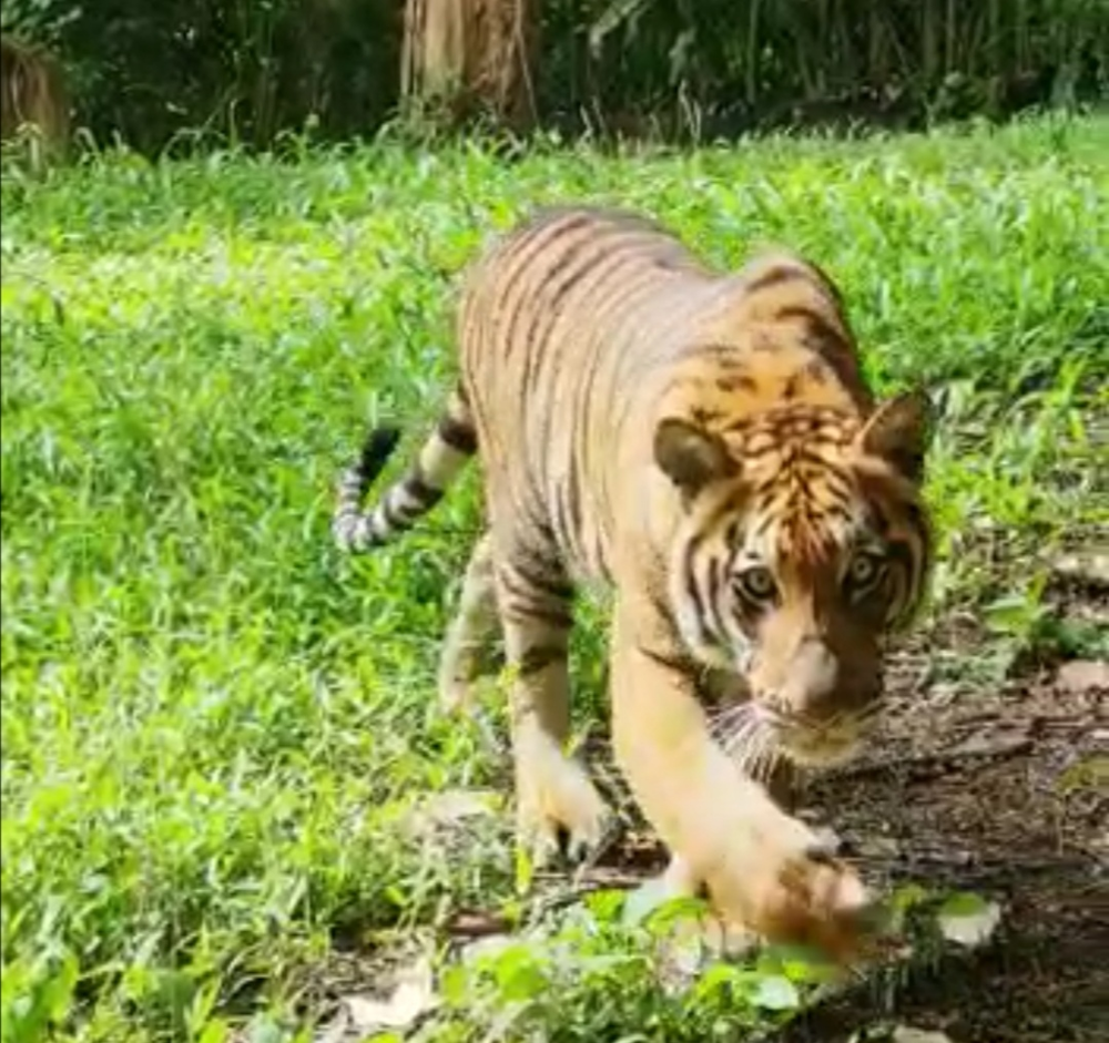 Taiping Zoo and Night Safari (ZTNS) has drawn up special packages in conjunction with the first birthday of its tiger cubs. — Picture courtesy of ZTNS