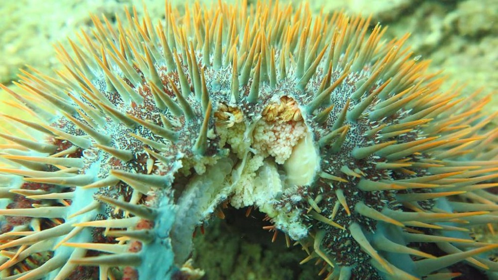 Scientists say the crown-of-thorns starfish could ingest 10 metre square of corals per year and an outbreak could see the collapse of a healthy coral reef in a short time. — Picture courtesy of Dive Rangers