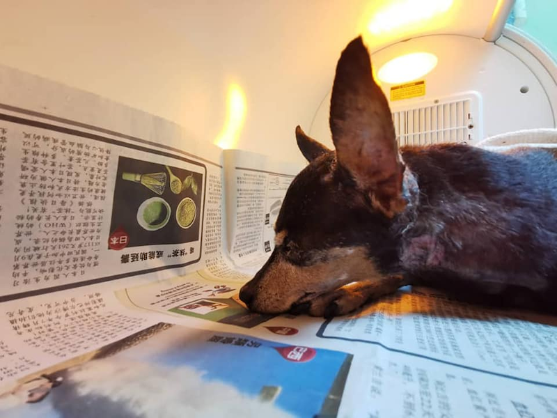 The blind pinscher was placed in an incubator at a Ipoh veterinarian clinic as its body temperature was dropping during its stay at the clinic. — Photo via Facebook
