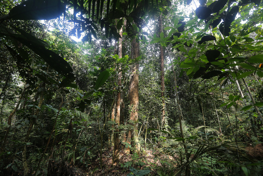 Trees and plants in the Kuala Langat North forest reserve at Kampung Orang Asli Busut in Banting April 22, 2021. — Picture by Yusof Mat Isa