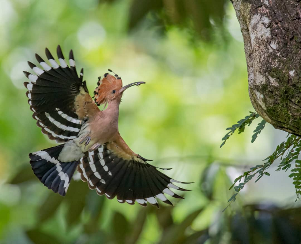 The Taiping Municipal Council (MPT) has announced that a pair of Hoopoe has set up a nest at Taiping Lake Gardens. ― Picture courtesy of MPT