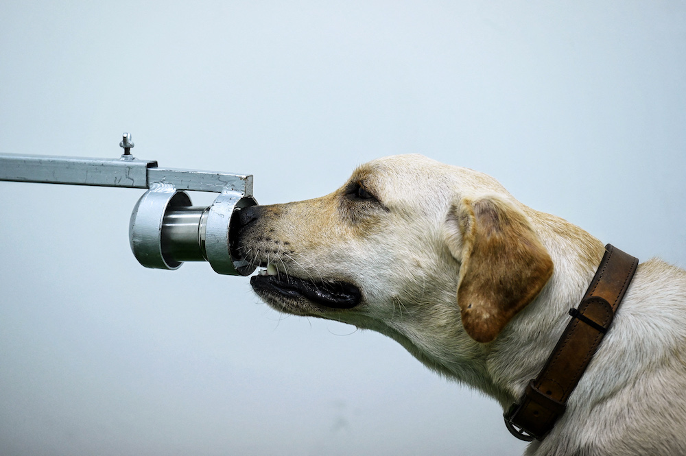 Bobby the K9 retriever dog sniffs sweat samples, in a test to detect the Covid-19 coronavirus through volatile organic compounds, at the Faculty of Veterinary Science in Chulalongkorn University in Bangkok on May 21, 2021. — AFP pic