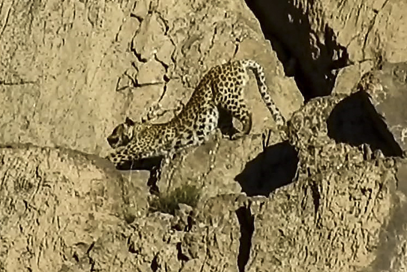 This handout video grab taken on May 7, 2021 and released by Pakistan's Wildlife Department on May 21, 2021 shows a rare Persian leopard at the Hazarganji-Chiltan National Park on the outskirts of Quetta. — Handout via AFP