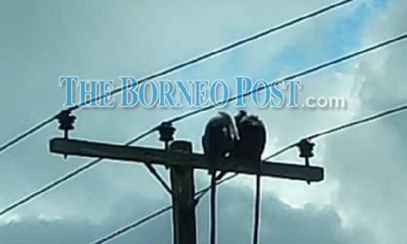 Monkeys seen sitting on top a power pole near the 33/11 Daro Substation recently. ― Borneo Post pic