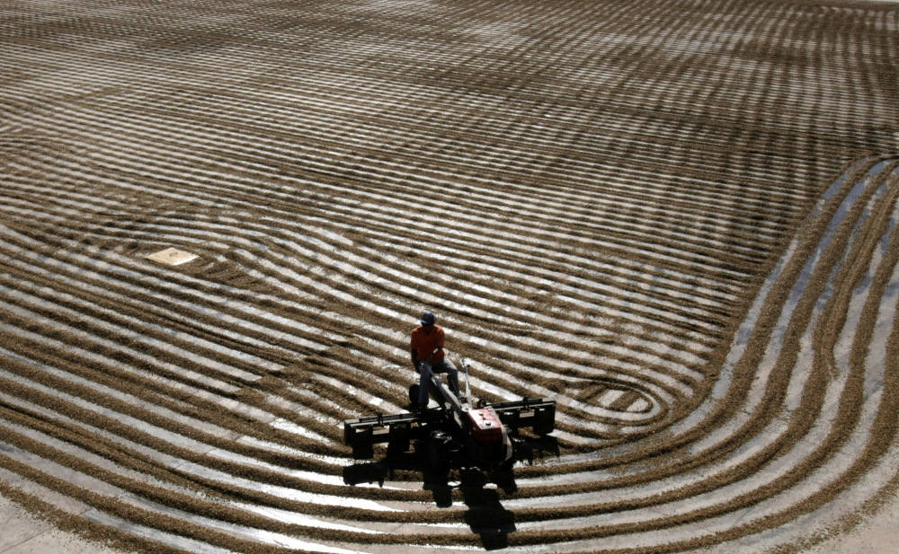 A worker dries arabica coffee beans at Conquista farm in Alfenas in the southern Brazilian city of Minas Gerais July 7, 2008. — Reuters pic