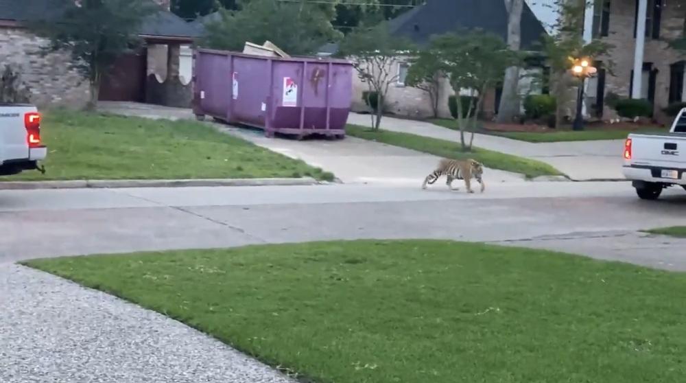 Tiger seen roaming through Texas neighborhood