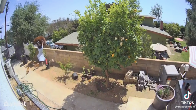 A screen grab from a TikTok video shows Hailey Morinico pushing a bear off her garden wall to protect her dogs.