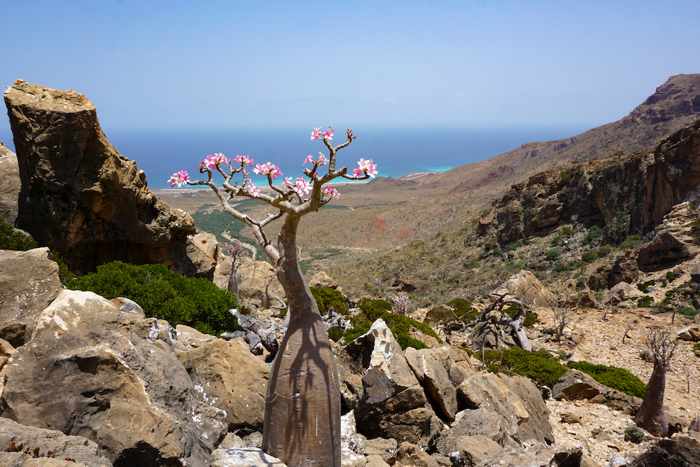A flowering bottle tree, or desert rose, is pictured on April 12, 2021, at Homhil in the northeast of the Yemeni island of Socotra, part of the flora found only in the Indian Ocean archipelago. — AFP pic