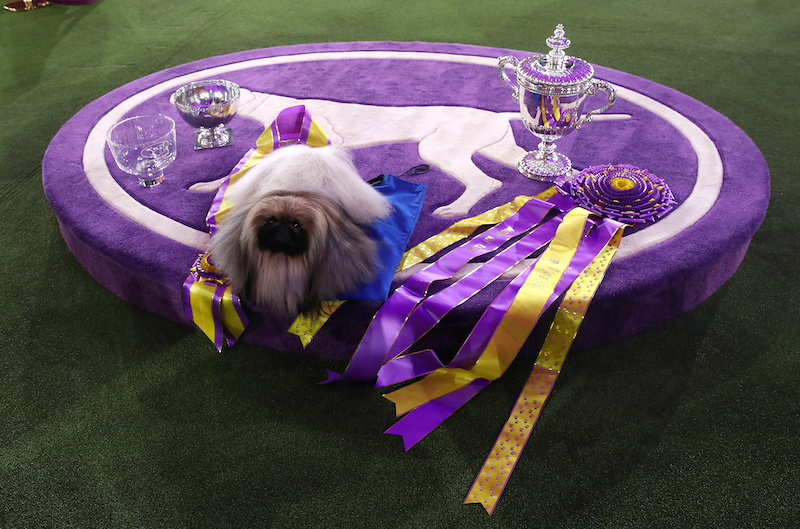 Wasabi, a Pekingese of East Berlin, Pennsylvania is posed after winning the Best in Show at the 145th Westminster Kennel Club Dog Show at Lyndhurst Mansion in Tarrytown, New York June 13, 2021. — Reuters pic
