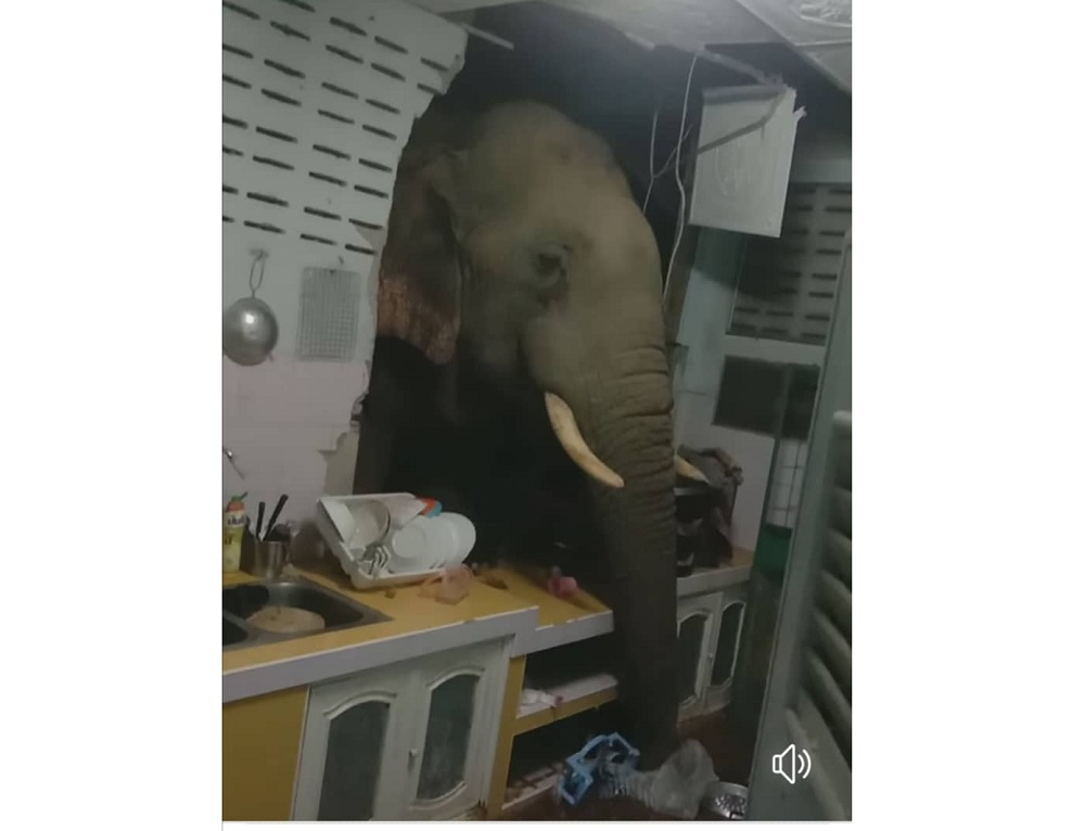 Elephants have been turning up at homes of residents at Pa-la-U in Hua Hin, Thailand to look for food. — Screen capture via Facebook/ Kittichai Boodchan