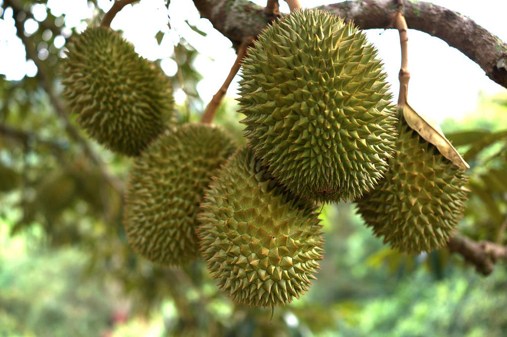 Preliminary investigations revealed that the 11 had allegedly entered a protected area on Mandai Road to pick durians. — iStock pic