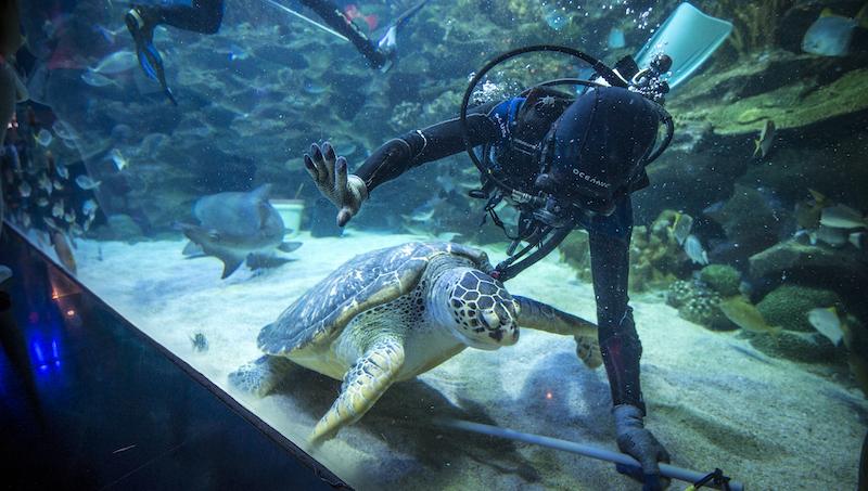 A green sea turtle swims past a diver inside Aquaria KLCC. — Picture courtesy of Aquaria KLCC