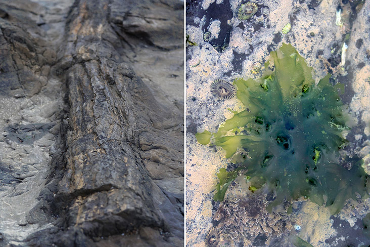 """A petrified tree trunk (left) and some green algae """"flowers"""" (right)"""